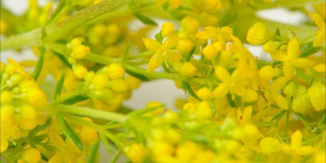 Flori de Sânziene